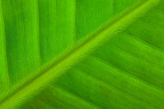 Texture of banana leaf Stock Images