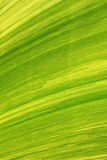 Texture of banana leaf from banana tree Royalty Free Stock Image