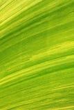 Texture of banana leaf from banana tree Royalty Free Stock Image