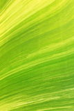 Texture of banana leaf from banana tree Stock Images