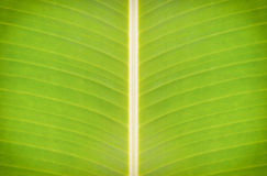 Texture banana leaves. Stock Photography