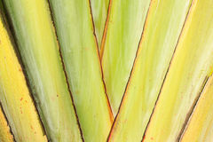 Texture of banana's stalk (Traveler palm) Stock Photos