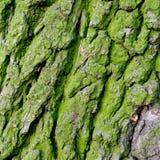 Texture bark. The background texture ( oak bark Stock Photo