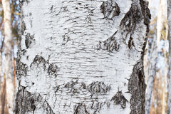 The texture of the bark. On the trunk of a birch grove in the forest closeup Royalty Free Stock Images