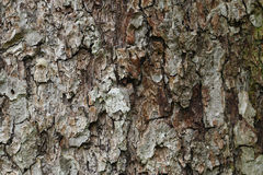 Texture of bark of an apple tree, background structure Stock Photography