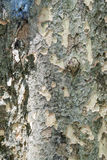 Texture of bark of backgroun Stock Images