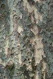 Texture of bark of backgroun Royalty Free Stock Photo