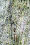 Texture of bark for background Stock Images