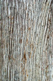 Texture of the bark Cupressus Stock Photo