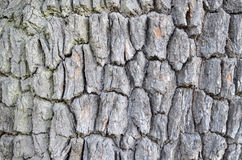 Texture of bark Royalty Free Stock Photography