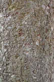 The texture of the bark of an old tree Royalty Free Stock Image