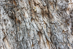 Texture of the bark Royalty Free Stock Photography