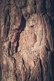 Texture of bark of pine royalty free stock image