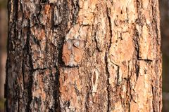 Texture of bark of a pine tree close-up view stock photography