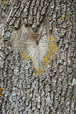 Texture of the bark of spruce. Background of a tree trun Stock Photography