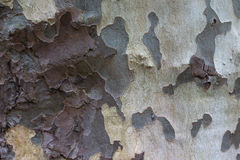 The texture of the bark of sycamore Royalty Free Stock Images