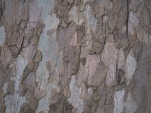 The texture of the bark of the sycamore tree. The texture of the bark of the sycamore tree royalty free stock photo