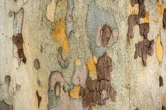 Sycamore tree - texture of the bark. The texture of the bark of the sycamore tree stock images