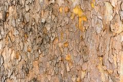 Sycamore tree - texture of the bark. The texture of the bark of the sycamore tree stock photography