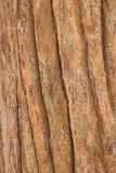 Bark of Tree. Texture Bark of teak Tree thailand stock images