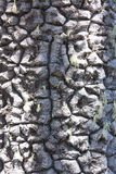Texture of bark of a tree. Of an araucaria Stock Image
