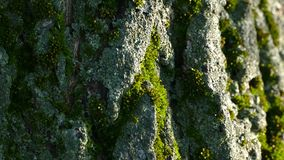 Texture of the bark of a tree. The bark of the tree is covered with moss. Full HD stock footage