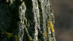 Texture of the bark of a tree. The bark of the tree is covered with moss. Full HD stock video