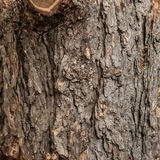 Texture of the bark of a tree. Front view of tree bark Royalty Free Stock Image