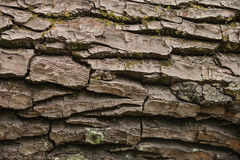 Texture of the bark of a tree. Royalty Free Stock Photo