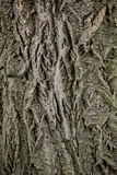 Texture of the bark of a tree. Stock Image