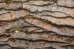 Texture of the bark of a tree. Royalty Free Stock Photography