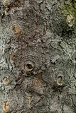 Texture of the bark of a tree. Royalty Free Stock Image