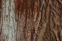 Texture of the bark of a tree. Stock Photography