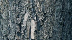 Texture of bark. Tree or poplar in park. Background of tree bark.  stock video