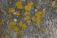 The texture of the bark of the tree poplar red moss lichen. Close-up royalty free stock images