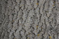 The texture of the bark of the tree poplar red moss lichen. Close-up royalty free stock photos