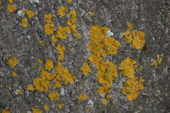 The texture of the bark of the tree poplar red moss lichen. Close-up stock images