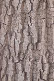 Texture of bark of a tree. Structure of old and gray bark of a tree poplar aspen Royalty Free Stock Photography
