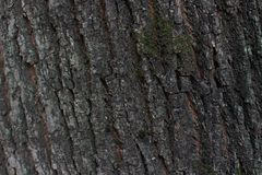 Texture of the bark of a tree royalty free stock photos