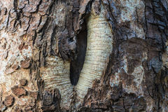 Texture of bark wood Stock Image