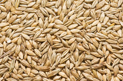 Texture Barley Stock Photos