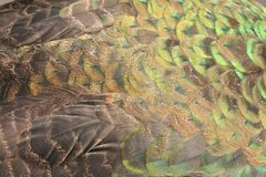 Texture beautiful feathers of Peacock stock photos