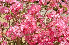 The texture of a beautiful plant tree with branches with pink violet unusual bright colors with petals in Egypt. The background stock photo