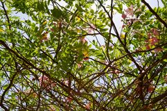 The texture of a beautiful tree plant with branches with pink unusual flowers with petals and fresh green leaves in Egypt stock photo