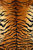Texture of bengal tiger skin Royalty Free Stock Photo