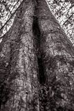 Texture of the big tree in black and white tone. royalty free stock photo