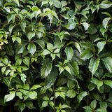Texture of bindweed. A wall of greenery. Background. Texture of bindweed. A wall of greenery royalty free stock image