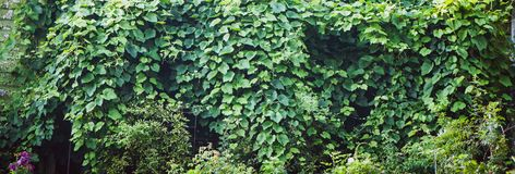 Texture of bindweed. A wall of greenery. Background. Texture of bindweed. A wall of greenery stock photography