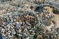 Texture of biology at the sea shore showing mussel reef on the beach wildlife. Royalty Free Stock Images