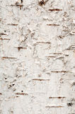 Texture of birch Stock Photo